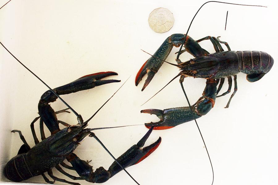 Biology of the Northern Crayfish (Orconectes virilis)
