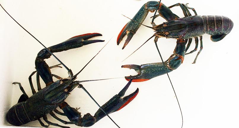 Redclaw-Crayfish