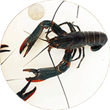 redclaw_crayfish-featured
